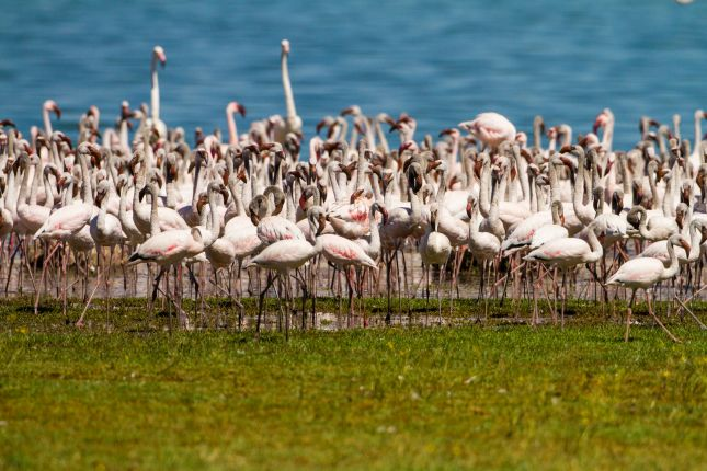 Plameňáci v Lake Nakuru
