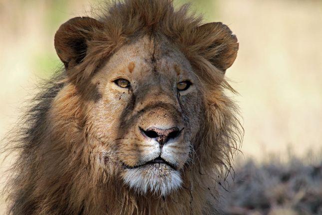 Lev v Amboseli