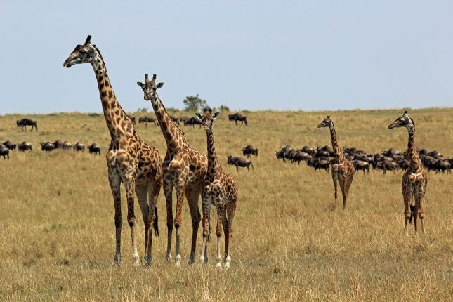 Žirafy v Masai Mara