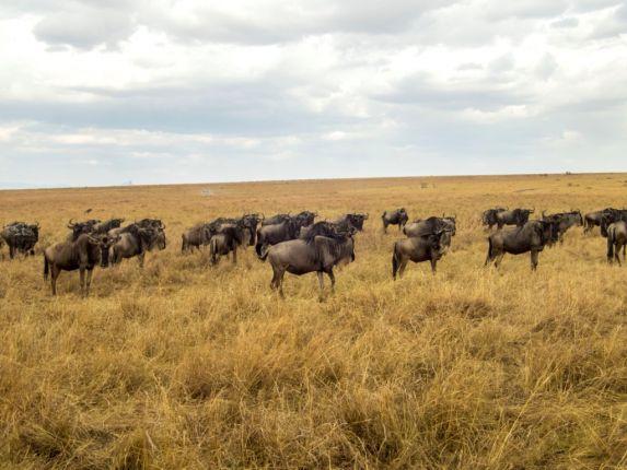 Pakůň žíhaný, národní rezervace Masai Mara