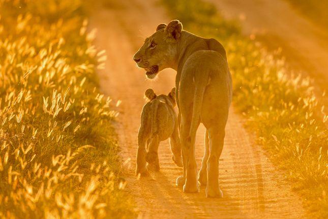 lvice s mládětem